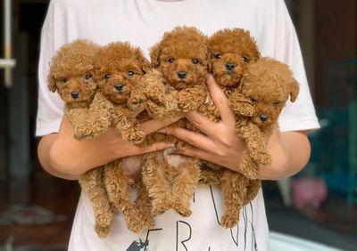 Chó Poodle Tiny thuần chủng, giá sinh viên