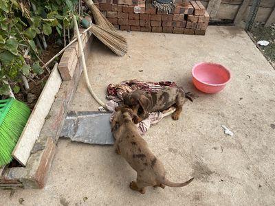 Lạp sườn socola loang. Chó bố lông dài nhập khẩu