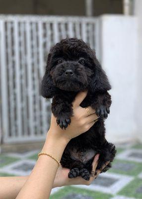 Poodle đen size tini gần 5th tuổi đã tiêm ngừa đủ