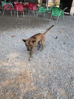 Chó Phú quốc, trưởng thành, màu vện
