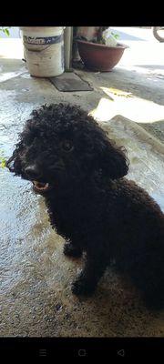 Nhận phối giống chó Poodle màu đen như hình