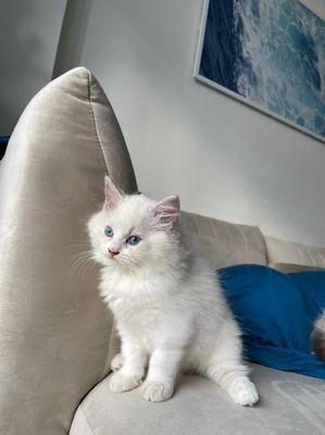 Mèo Ragdoll thuần chủng , bố mẹ nhập .