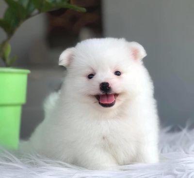 Chó Phốc sóc trắng tinh-rất đẹp! Ship tận nhà!