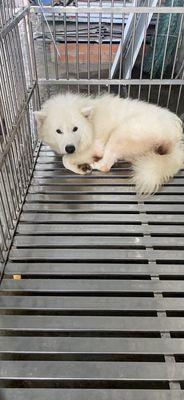 Bán chó samoyed đực 9 tháng tuổi