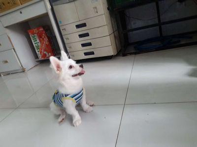 Chó phốc sóc 4.5 tháng tuổi