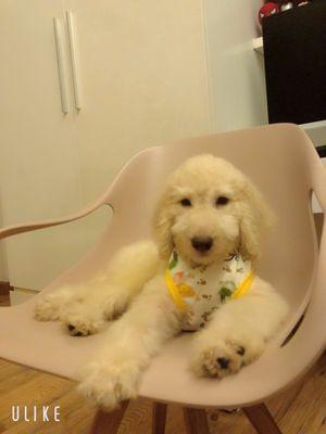 Poodle standard 2 tháng rưỡi đực