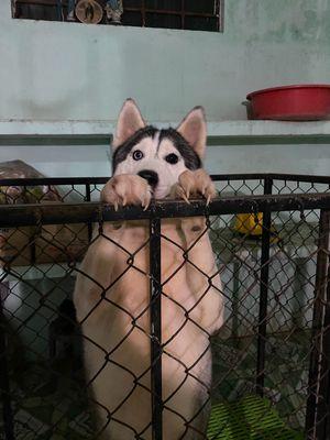 Husky 18 tháng chưa sinh sản