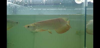 Cá rồng vàng malaysia