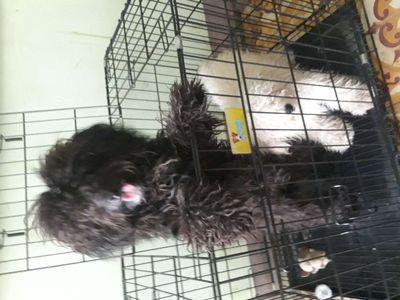 Chó poodle đực và cái
