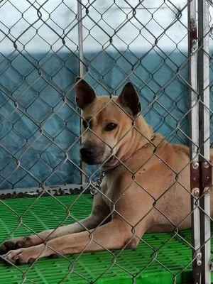 Chó Phú Quốc Đực