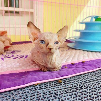 Mèo sphynx đực gần 2th