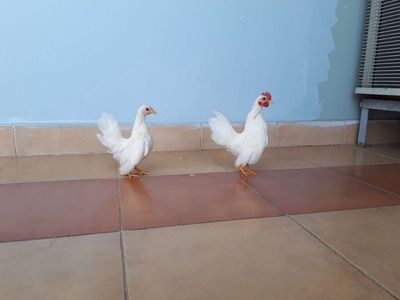 Cặp gà Serama Nhan Mini chuẩn đẹp