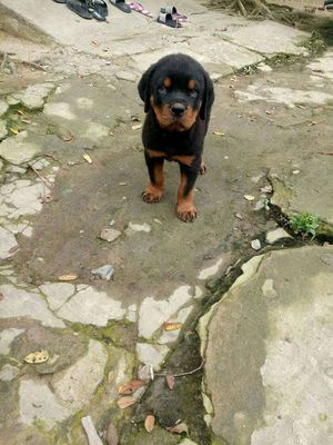Rottweiler hậu Duệ Ramboo confido