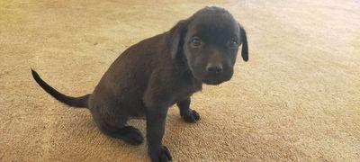 Labrador lai rottweiler  bố 55kg