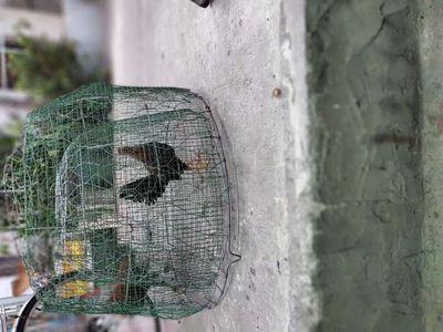Cập gà tre 9 tháng 1k300 g