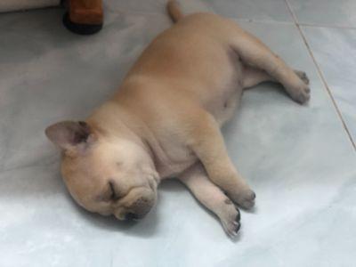 Chó pug 2 tháng tuổi nâu/ kem