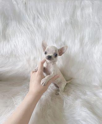 ❤️Chó Chihuahua CÁI VIP Đầu banh - mõm nhỏ - lùn❤️
