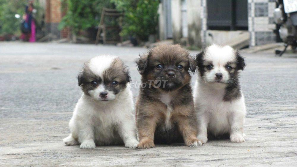 0909081064 - Chó pom xù tại  nhà nuôi  đẻ,mini