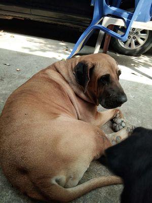Rottweiler thuần và chó ngao Brasil tại trảng dài