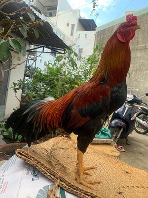 Bán gà Nòi 2kg9 cản mái