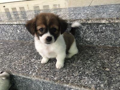 Chó Nhật lai 4 tháng tuổi
