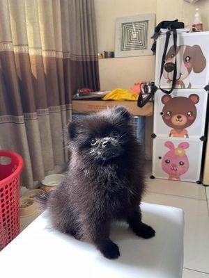 Chó Phốc Sóc Đen Phong thuỷ ( Thuần chủng )