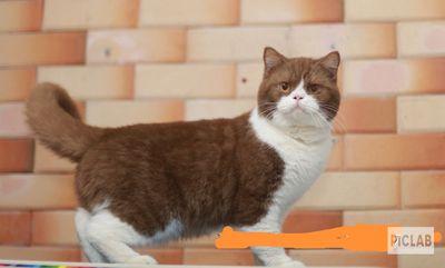 Nhận phối giống mèo bicolor cinnamon
