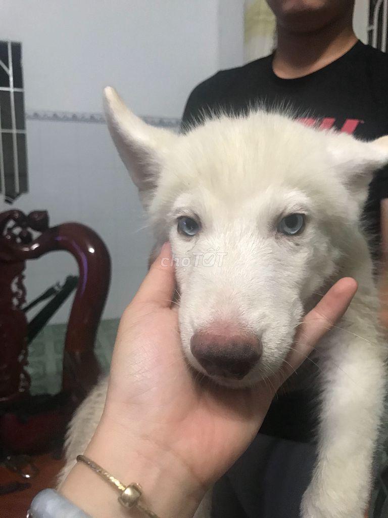 Chó Husky đực màu trắng 3 tháng