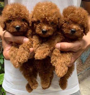 Bên mình có bán chó cảnh poodle thuần và lai