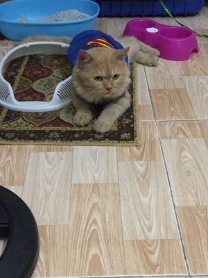 Mèo anh lông ngắn 7 tháng tuổi