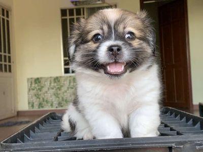 Nhật lai poodle cún nhà đẻ