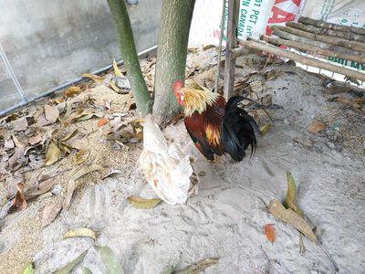 Cặp gà tre kiểng đẹp đang sinh sản