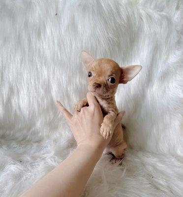 Chihuahua CÁI màu Red vàng đậm mũi hồng dzễ nuôi