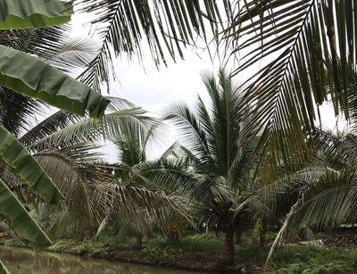 Đất thổ cư có dừa Huyện Ba Tri 8.000m2