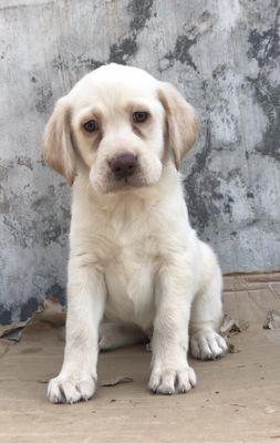 Chó Labrador Thuần Chủng