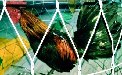 Gà Tre 1k4 máu peru đuôi ben chân cao gốc Bến Tre