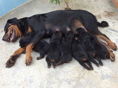 Rottweiler Oversize thuần 100%