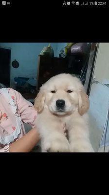 Chó Golden 2 tháng tuổi !