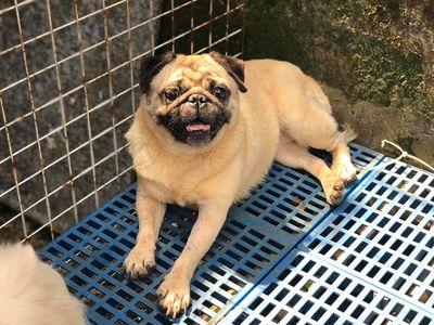Chó Pug Cái Trưởng Thành Thanh Lý 3 Em