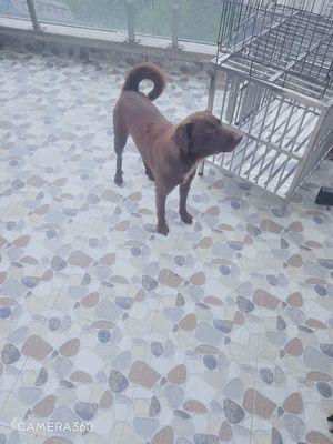 Chó cái nâu đỏ
