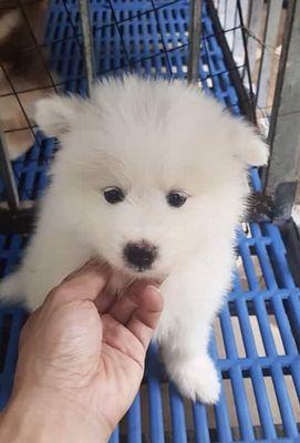 Chó Samoyed thuần chủng 54 ngày.