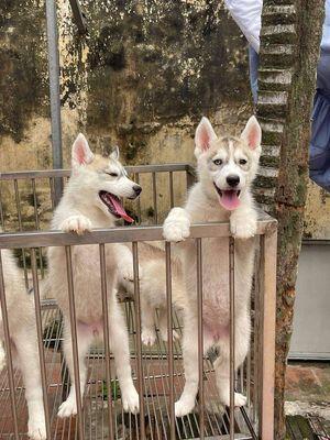 Husky mấy bé cái xinh xắn