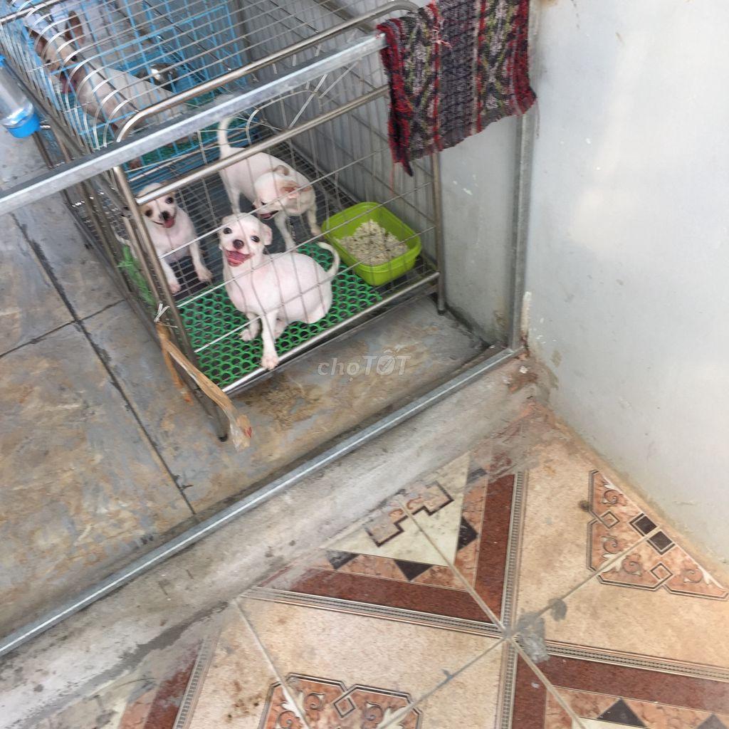 0329410068 - Chihuahua đực