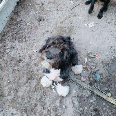 Poodle toy cái 4 chân lông trắng ngực trắng hiếm