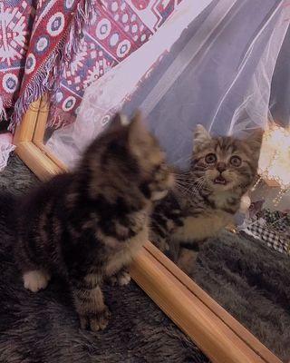 Mèo aln 2 tháng tuổi lông dày