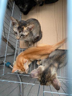 Ba bé mèo xiêm lai cần tìm nhà mới