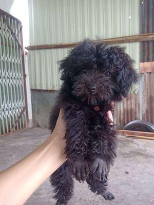 Chó poodle đen 3tháng tuổi