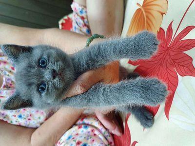 Tìm nhà mới cho  mèo con aln xám xanh thuần chủng