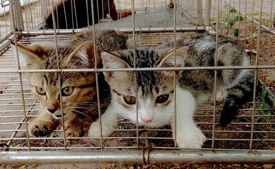 Mèo con ald màu vằn xám hà nội cần bay nhanh