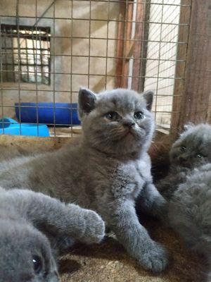 Mèo ALN Xám Xanh Cái 2 Tháng